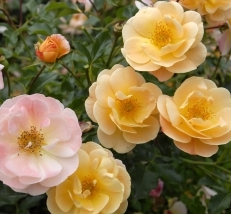 Flower Carpet Roses Roses At Mid City Nursery Serving Napa And