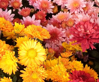 Beautiful mums for the fall