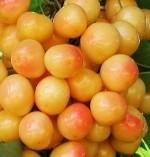 Rainier Cherry