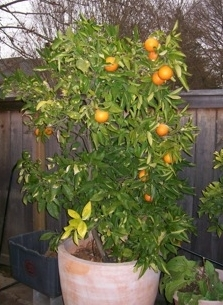 Citrus in Container